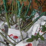 Sadnice ruža, ciklame i flower-box pravi su hit su u Vrtnom centru