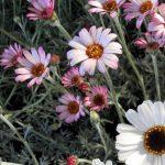 Trajnice – nezaobilazne u vrtovima