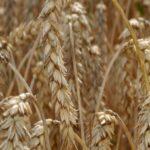 Sjemenska pšenica u našim poljoapotekama